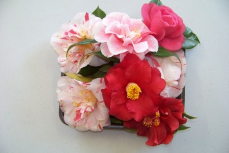 Camelias from a Tuesday Lady's garden
