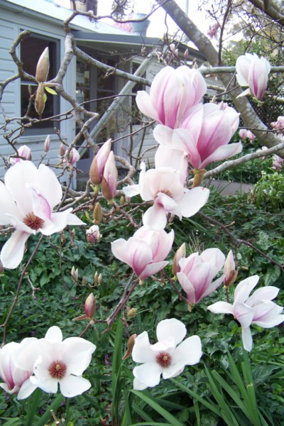 Magnolias are just starting to open.